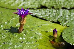 Makhana plant