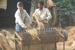 Post Harvest Handling of Paddy (Threshing) in Bihar.  Source: (flickr) Divya Pandey/IFPRI