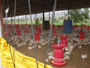 BV Rao Poultry Institute, Pune. Source: Prabin Dongal, IIDS
