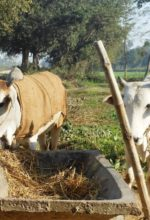 Adoption of Food Safety Measures among Nepalese Milk Producers
