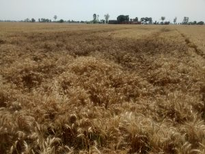 Damaged wheat crop. Source: Md. Tajuddin Khan/IFPRI