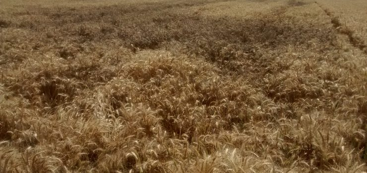 Zero Tillage: A Climate Smart Solution to Downside Risk of Agriculture