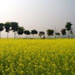 Let the Dhara flow: GM mustard is pro-farmer and pro-science